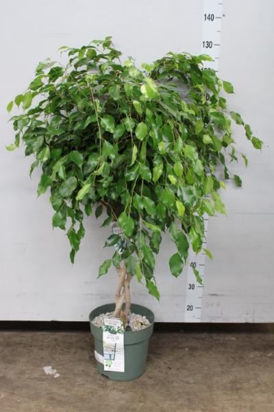 <h4>Ficus benja.   ...</h4>