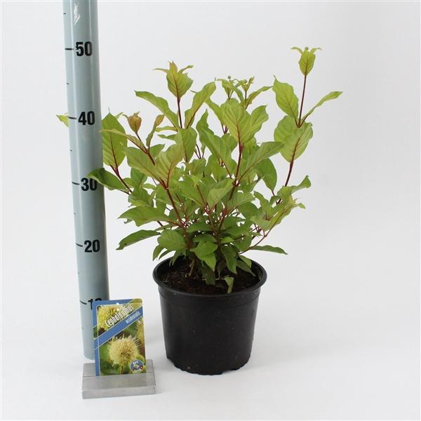 <h4>Cephalanthus occidentalis</h4>