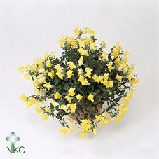 <h4>Antirr Dragon Yellow</h4>