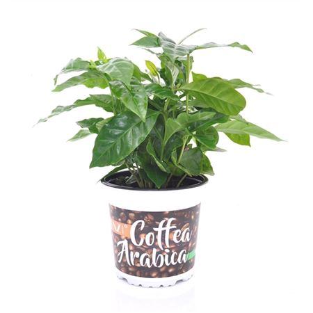 <h4>Coffea Arabica Potcover Beans</h4>