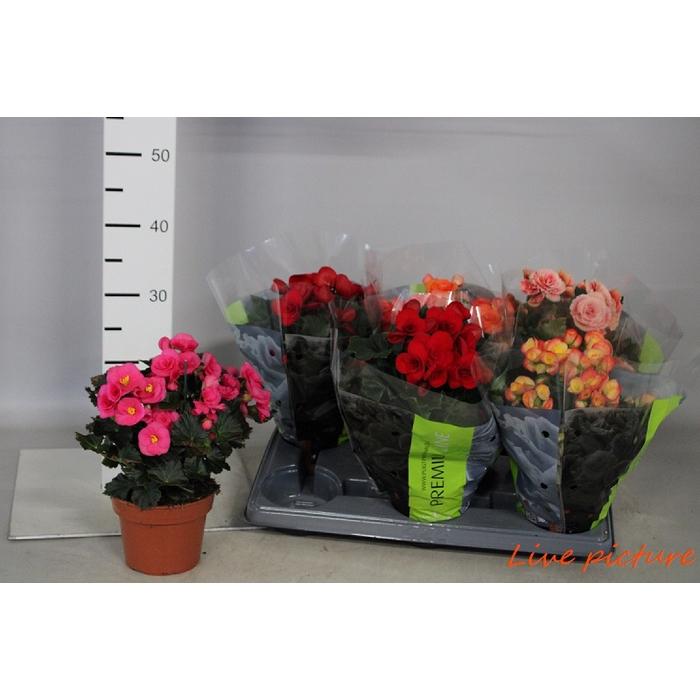 <h4>Begonia Elatior Du. Mix Premium</h4>