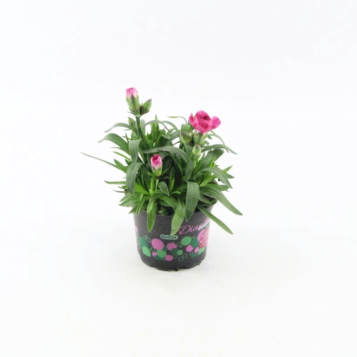 <h4>Dianthus Oscar Purple Wings</h4>