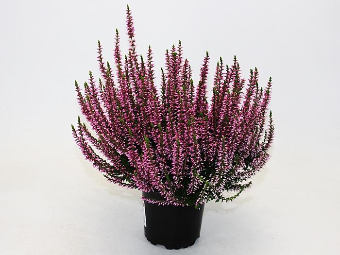 <h4>Calluna vulgaris Garden Girl® Rosa</h4>