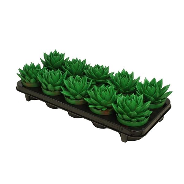 <h4>Echeveria coloured green</h4>