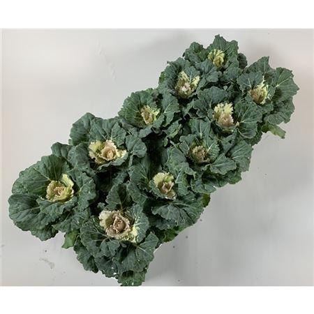 <h4>Brassica Glad Wit</h4>