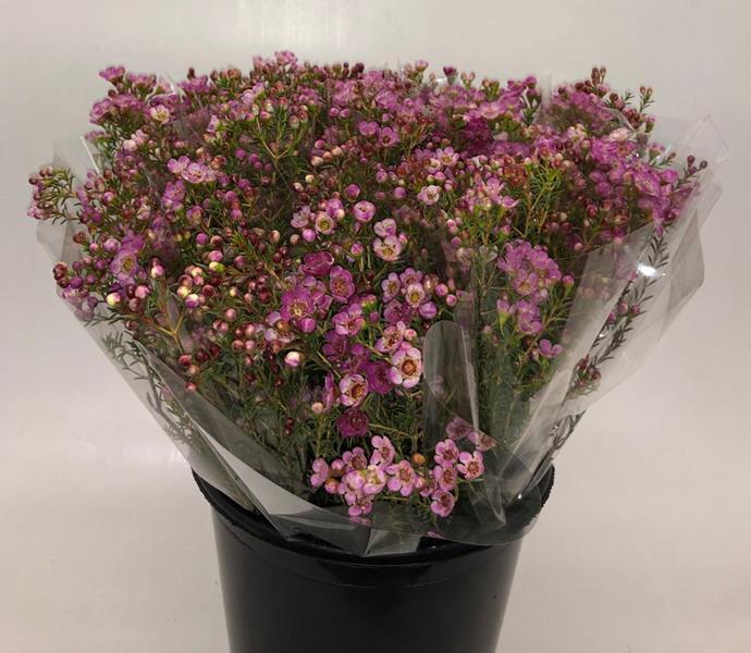 <h4>Mono Waxflower Rose X5</h4>