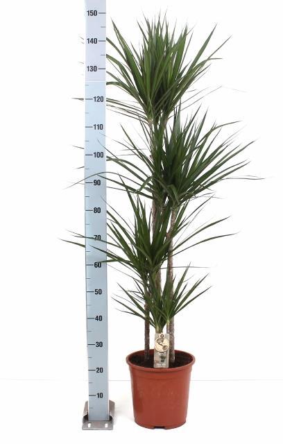 <h4>Dracaena Marginata 27Ø 160cm</h4>