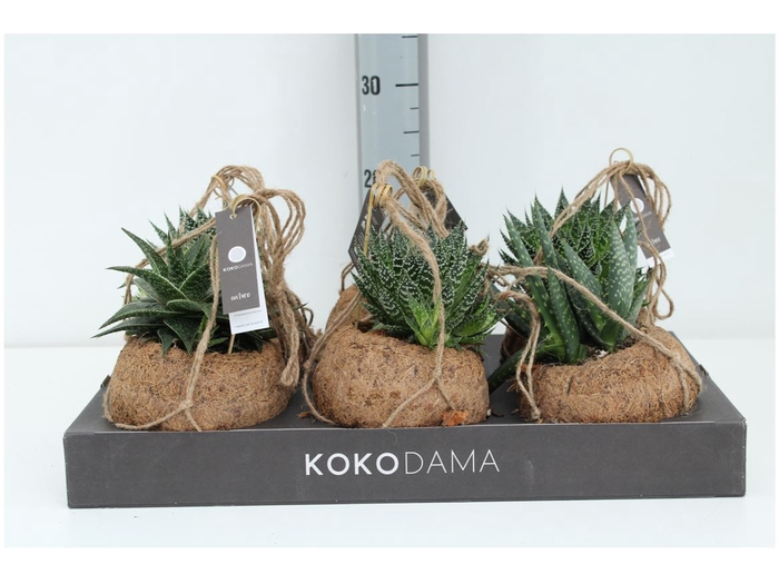 <h4>Kokodama Aloe Mix Dia 15 Cm Hanger</h4>