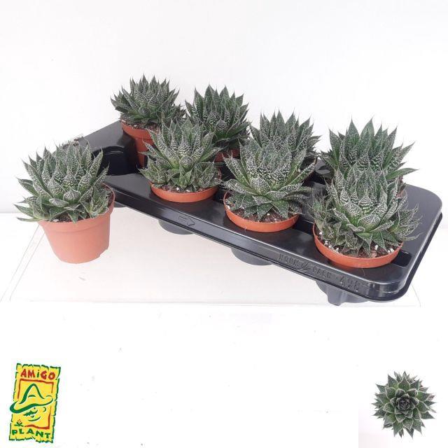 <h4>Aloe Aristata Tabo 10,5Ø 15cm</h4>