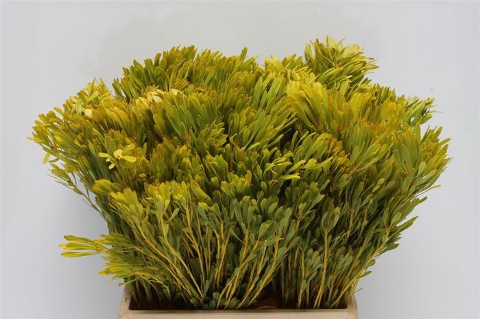 <h4>Kaaps Platyspermum</h4>