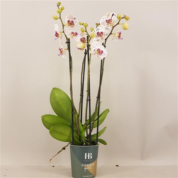 <h4>Phalaenopsis Calypso 4 tak Gorgeous Gold</h4>