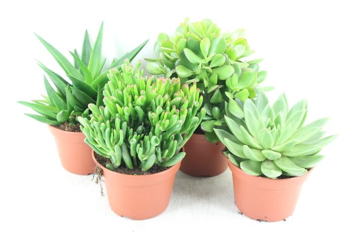 <h4>pl. AM 15.100 - Succulent plantenmix x4</h4>