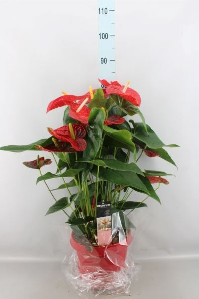 <h4>Anthurium andr. 'Dakota'</h4>