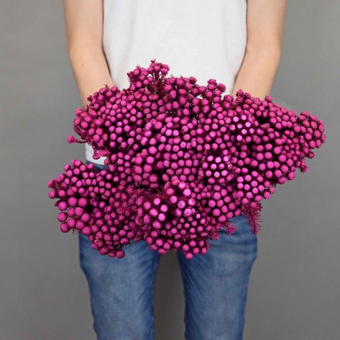 <h4>Dried Brunia Purple</h4>