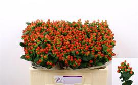 <h4>Hypericum Tomato Flair</h4>