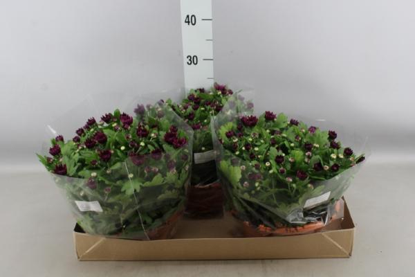 <h4>Chrysanthemum  'Skyfall Purple'</h4>