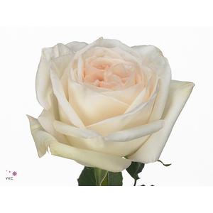 Rosa Gr. White O'Hara