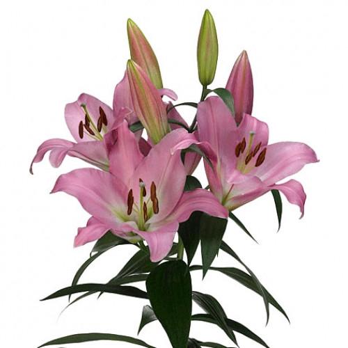 <h4>Lilium Oriental Table dance</h4>