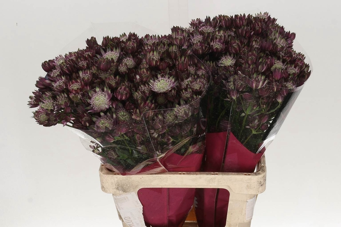 <h4>Astrantia Star Of Flame</h4>
