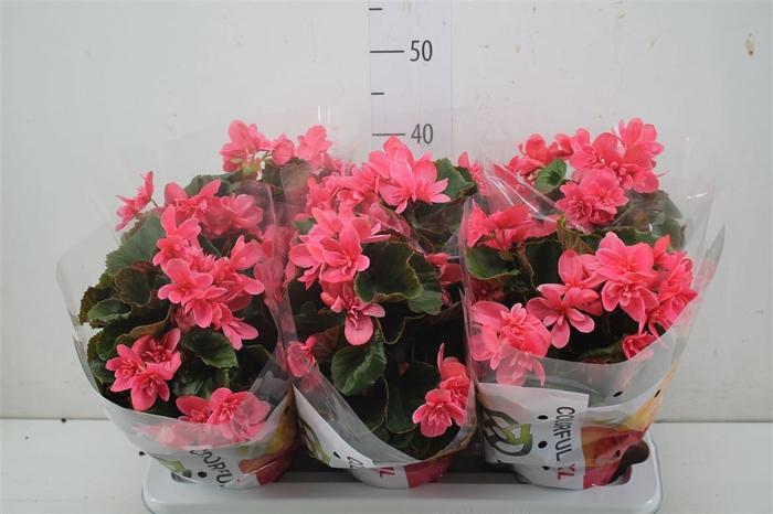 <h4>Begonia Hl Ceveca</h4>