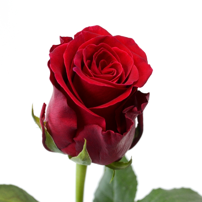 <h4>Rose Rhodos</h4>