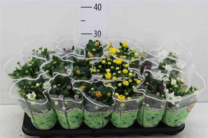 <h4>Chrysanth Gemengd</h4>