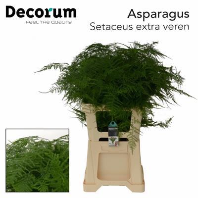<h4>ASPARAGUS SETACEUS EXTRA</h4>