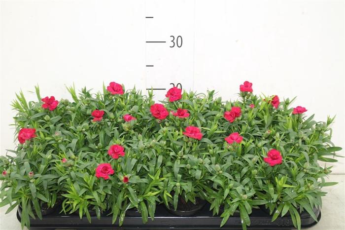 <h4>Dianthus Cherry</h4>