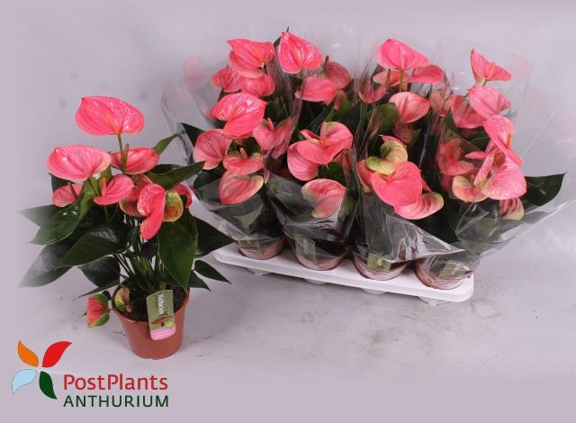 <h4>Anthurium Sweet Dream 14Ø 45cm 6Flow</h4>