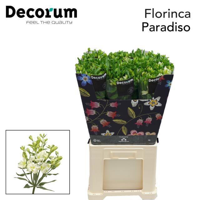 <h4>Flor Paradiso</h4>