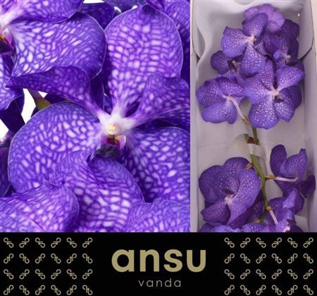 <h4>Vanda Kan Blue Magic</h4>