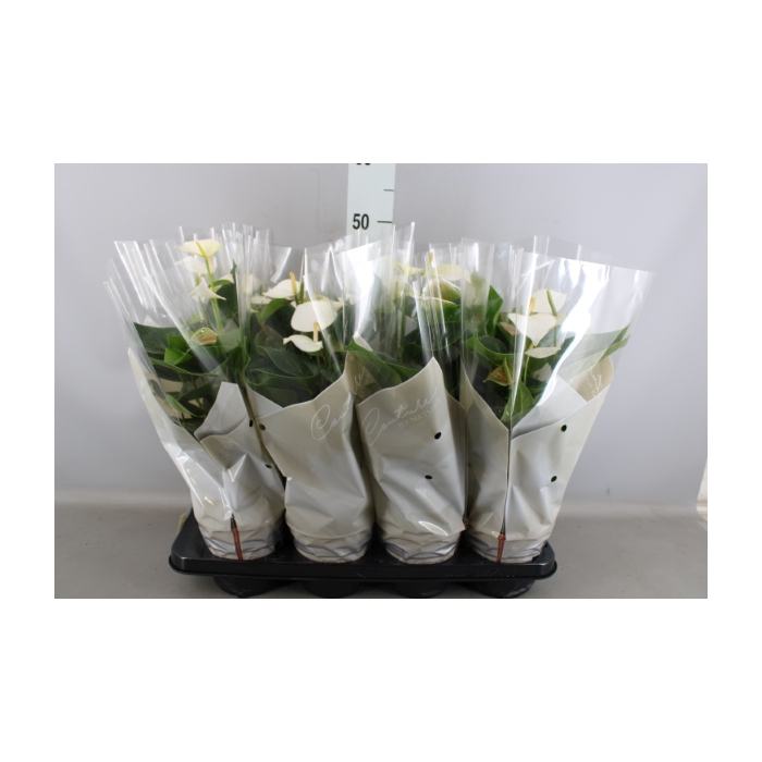 <h4>Anthurium andr. 'Baby White'</h4>