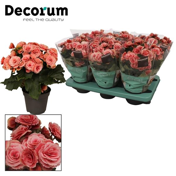 <h4>Begonia ''borias'' rose gevlamd Decorum</h4>