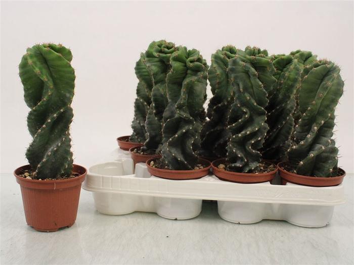 <h4>Cereus Forbesi Spiralis</h4>