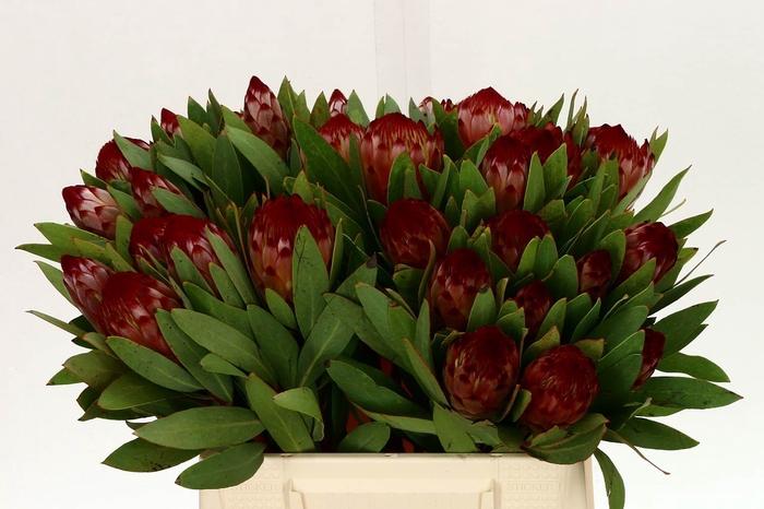<h4>Protea Robijn</h4>