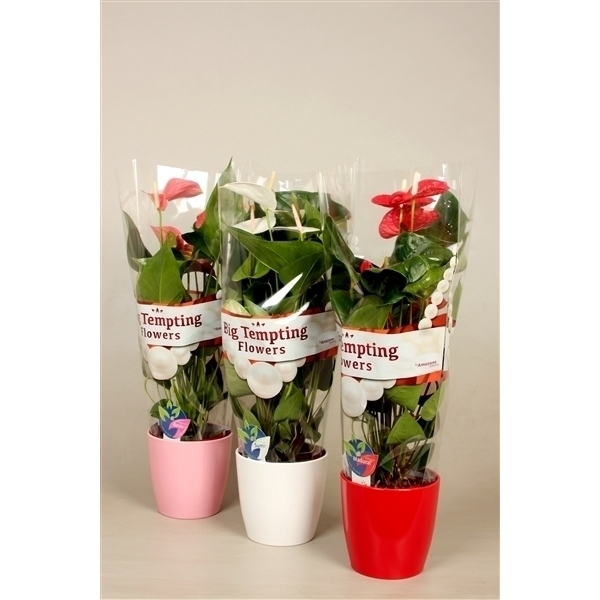 <h4>Anthurium Mix Keramiek</h4>