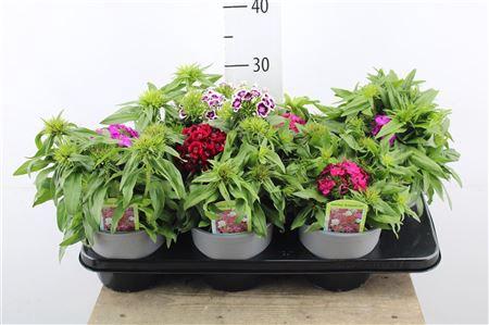<h4>Dianthus Barbatus</h4>