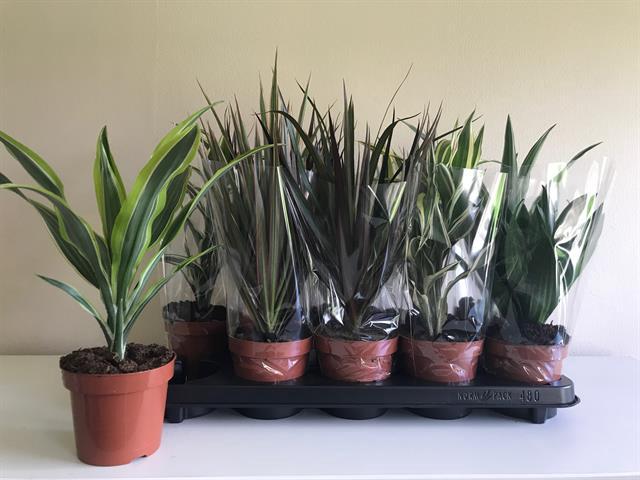 <h4>Kamerplanten gemengd groen 6 soorten</h4>