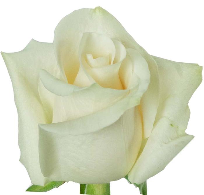 <h4>Rosa gr Vendela (Nevado)</h4>
