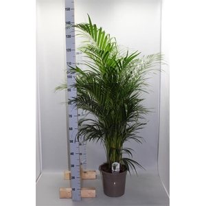 Areca 24Ø 140cm