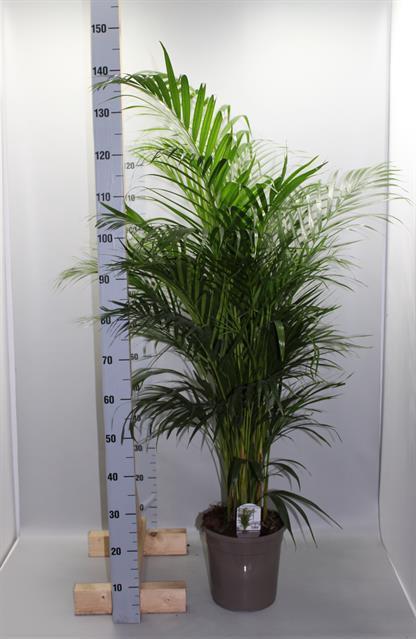 <h4>Areca lutescens 24Ø 140cm</h4>