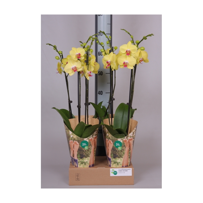 <h4>Phalaenopsis   ...yellow</h4>