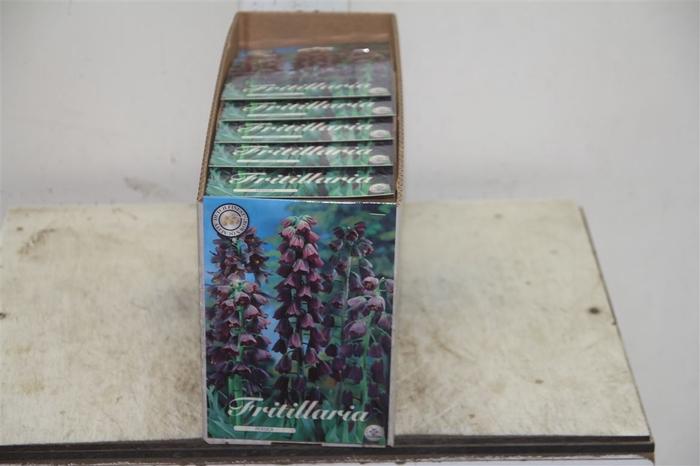 <h4>Bol Frittilaria Persica 10 Zakjes X1</h4>