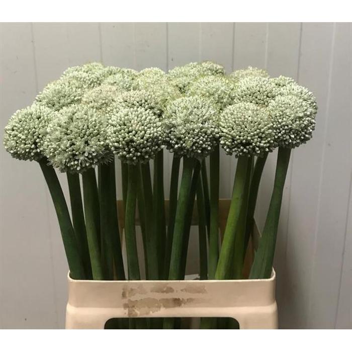 <h4>Allium Ov</h4>
