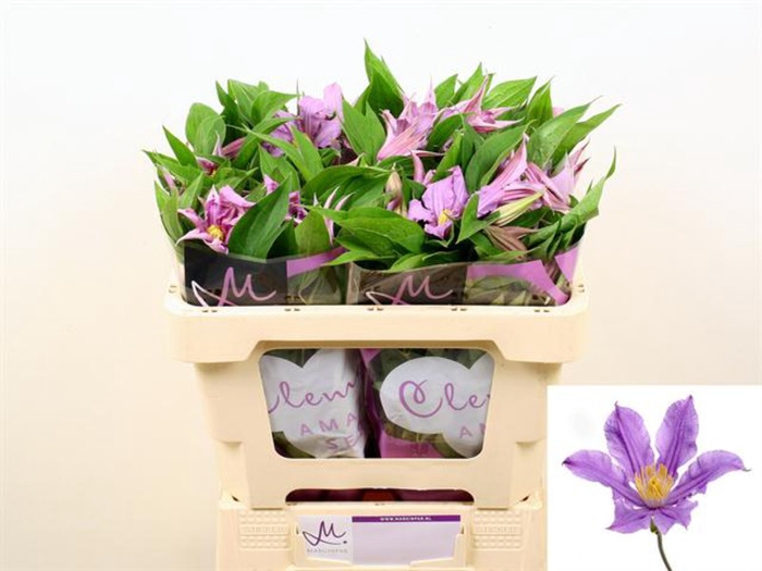<h4>Clematis Amazing London</h4>