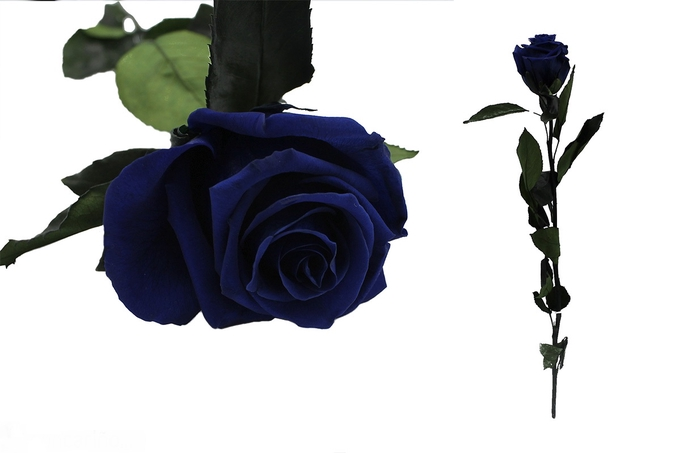 <h4>Rosa preservada ocean blue</h4>