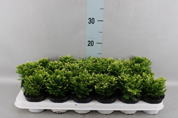 <h4>Selaginella martensii 'Jori'</h4>