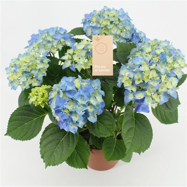 <h4>Hydrangea macr. Early Blue</h4>