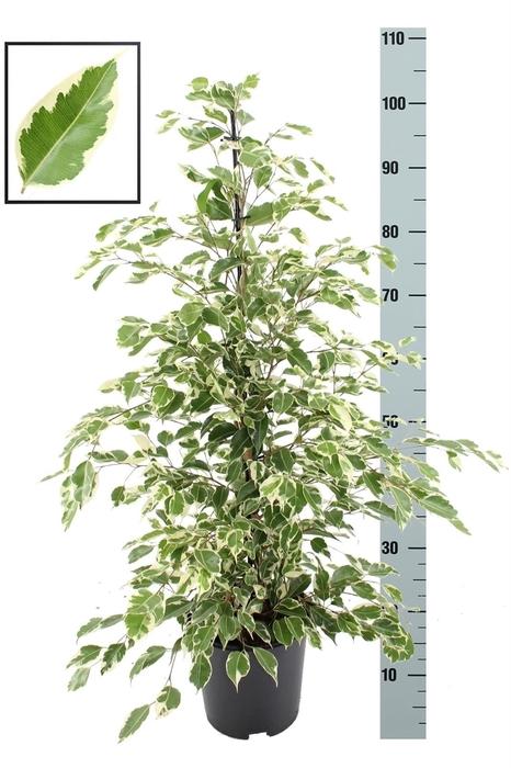 <h4>Ficus benja. 'Twilight'</h4>