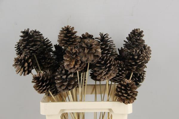 <h4>Stick Pine Cone Natural Large</h4>